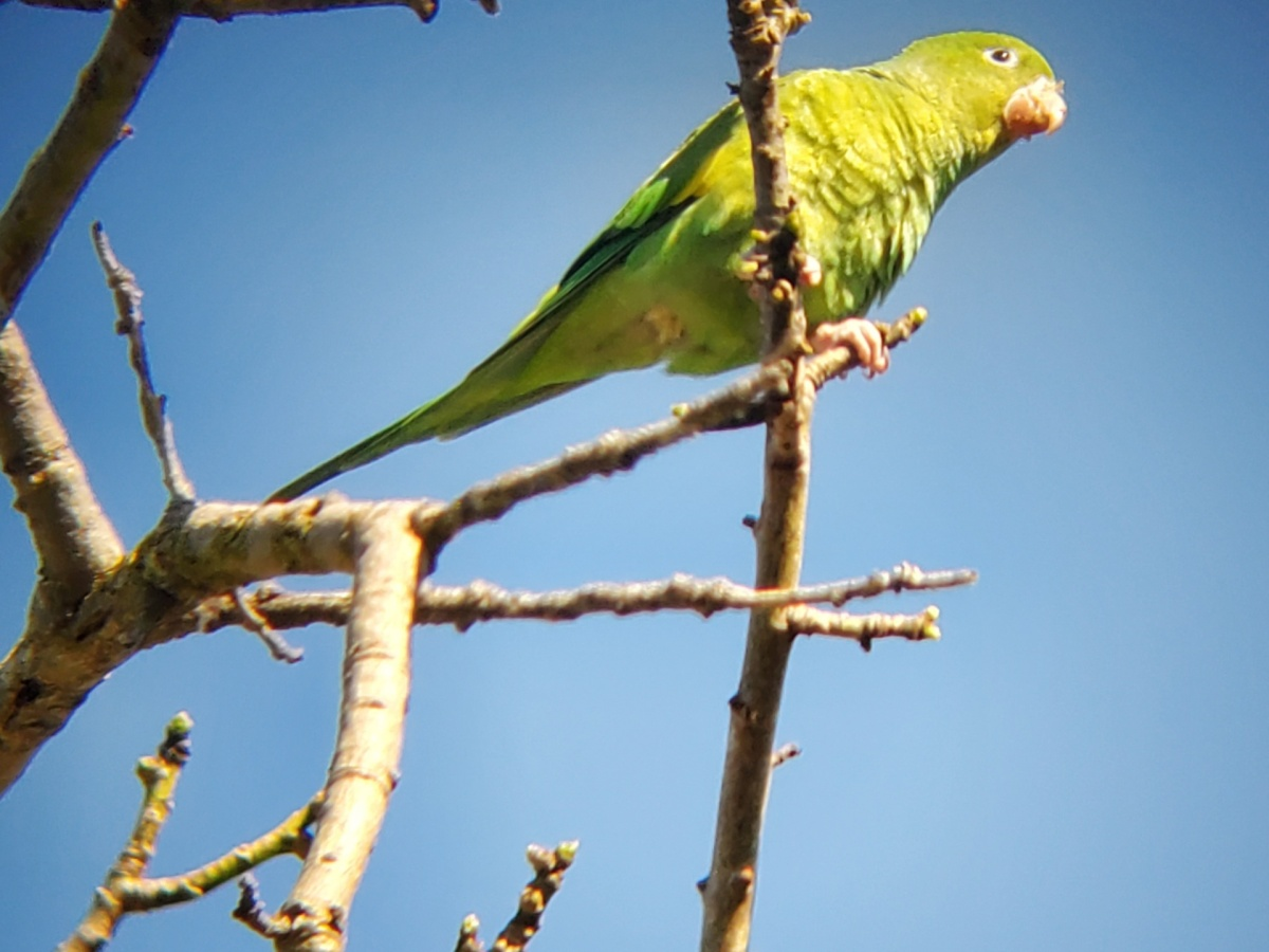 Yellow Chevroned Parakeet in a White Floss Silk Tree