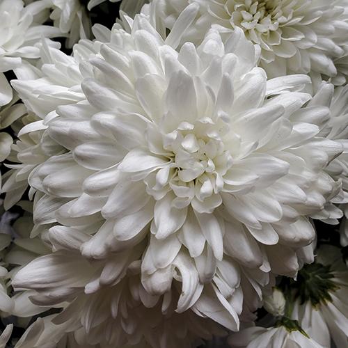 A Class 7 chrysanthemum