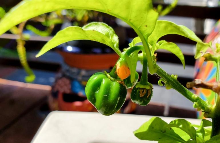 Some undersized habanero peppers