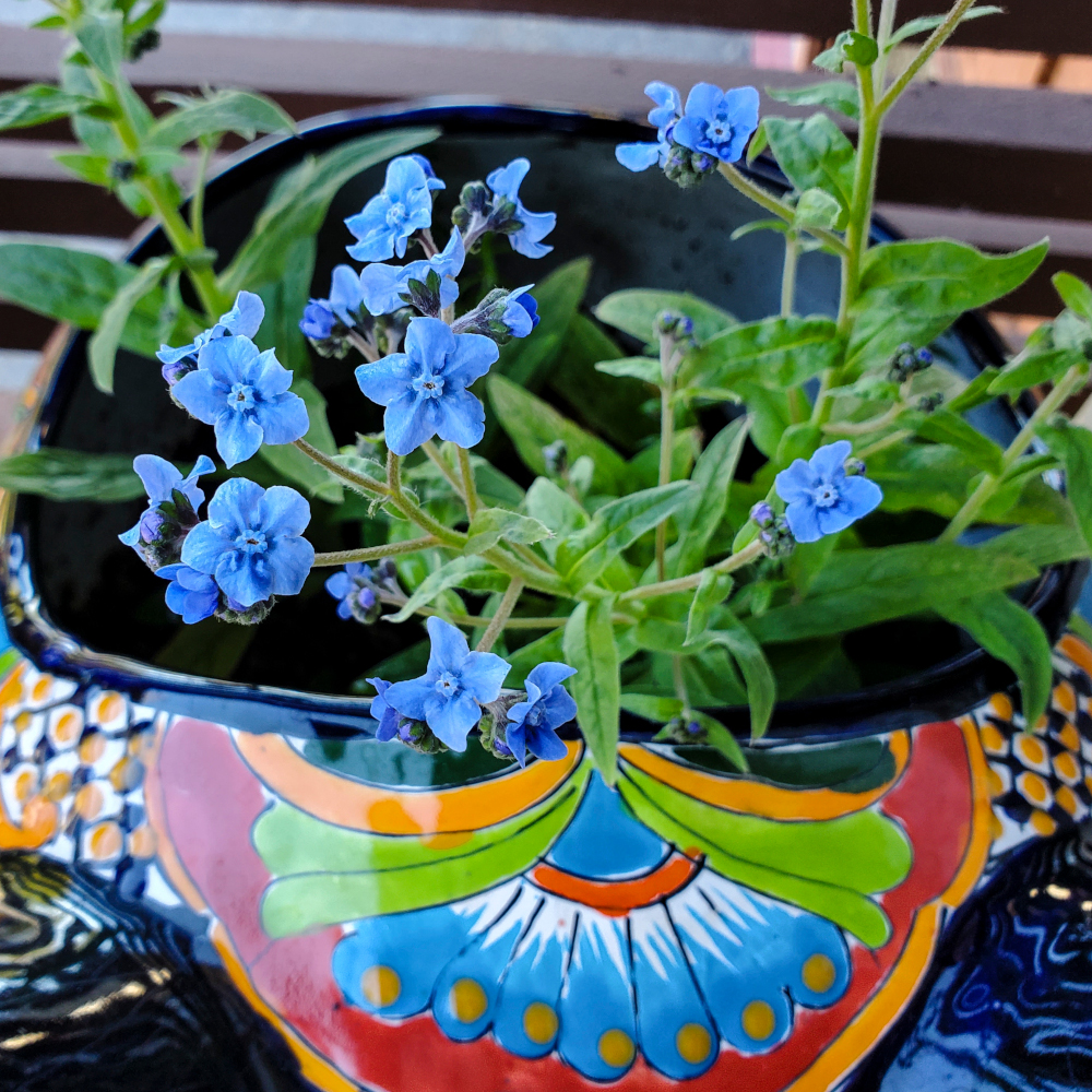 The Forget-Me-Nots are blooming