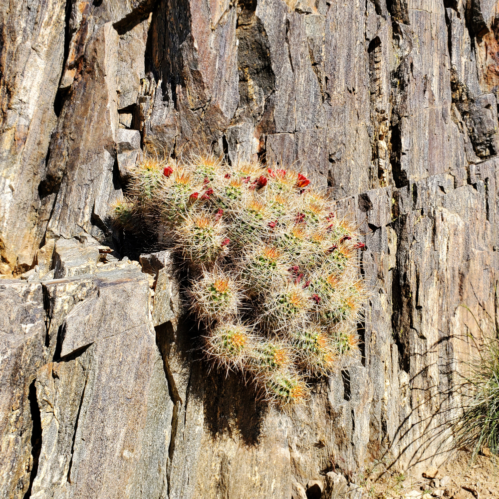 Cacti growing out of a rock face