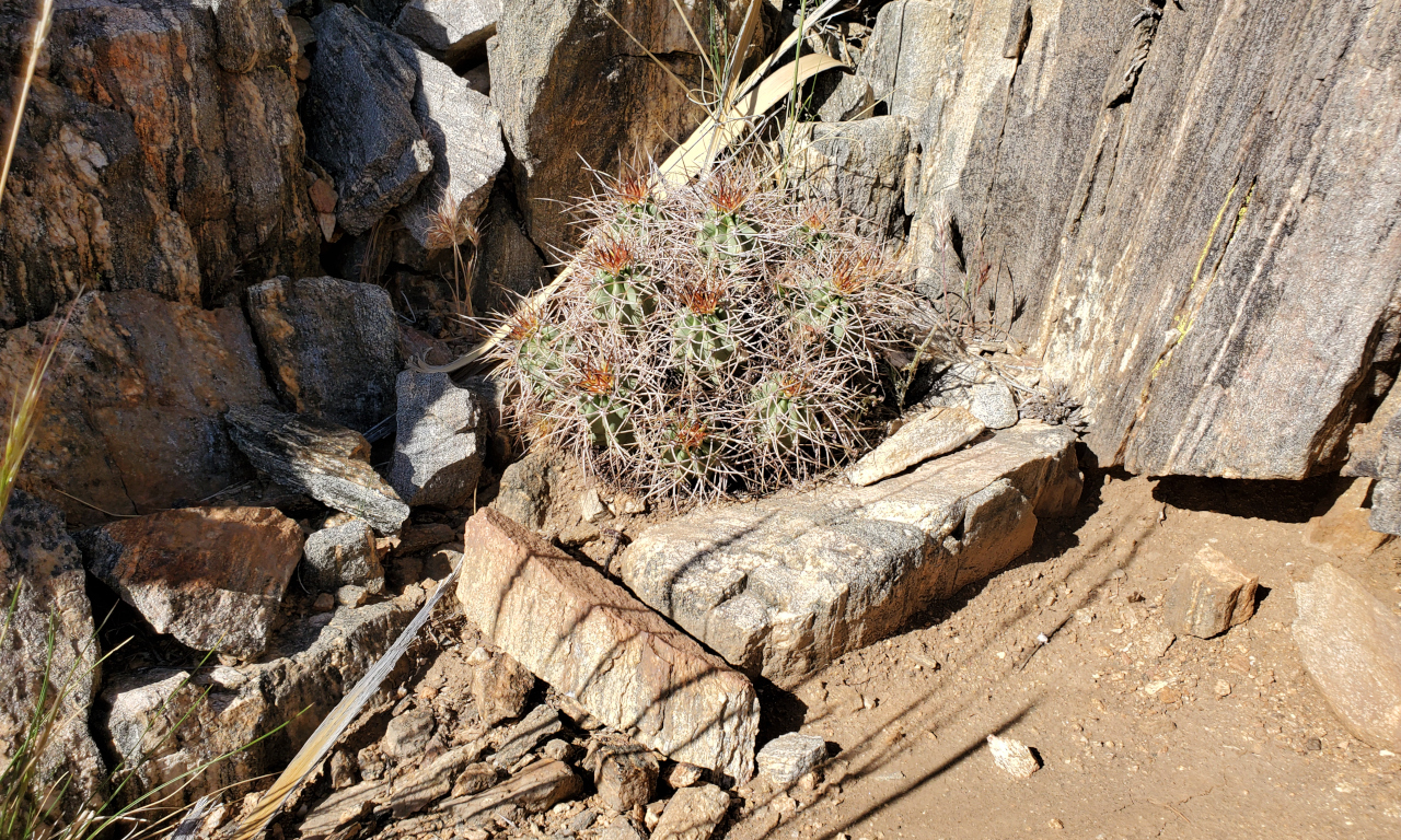Cacti in Joshua Tree