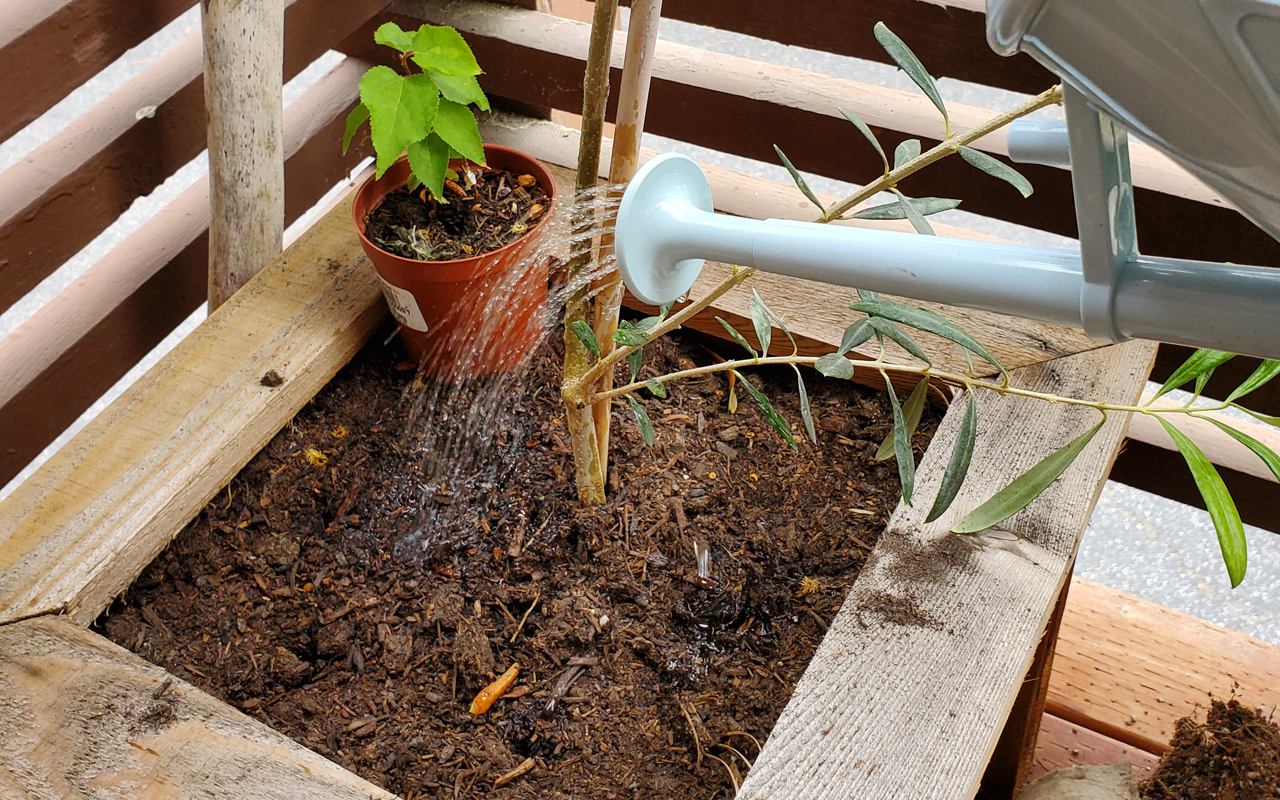 Watering a dry olive planter