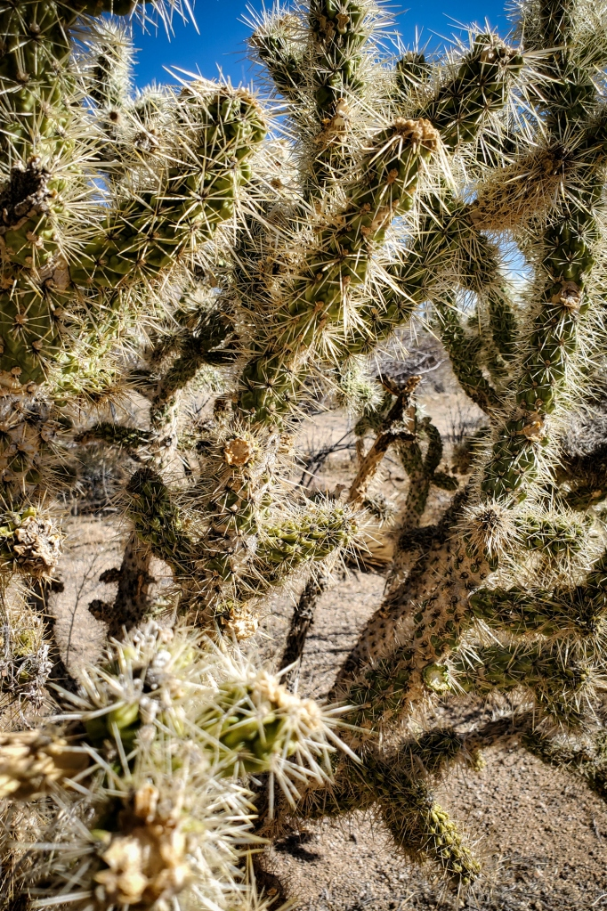 A closeup of a Cholla cactus from below. Watch out - they're spiky!