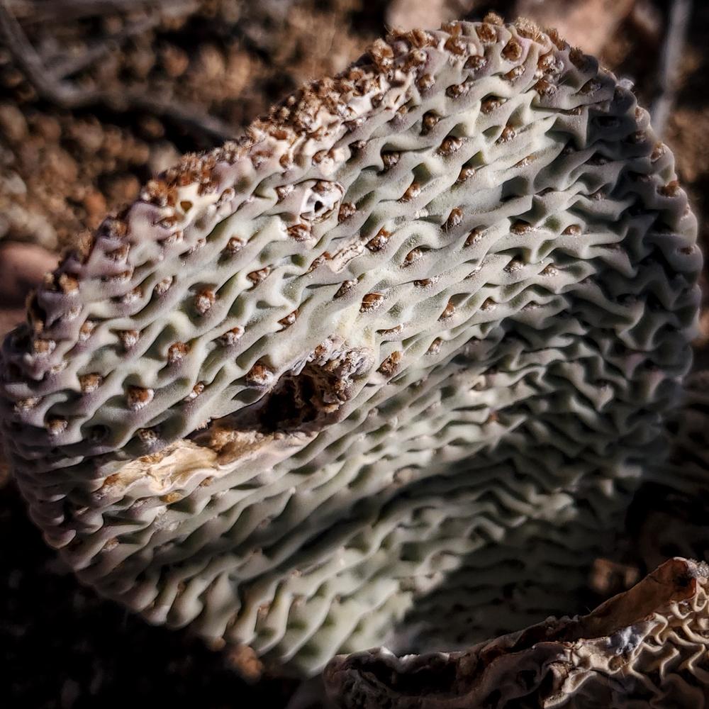 Opuntia basilaris cactus - the Beavertail Prickly Pear