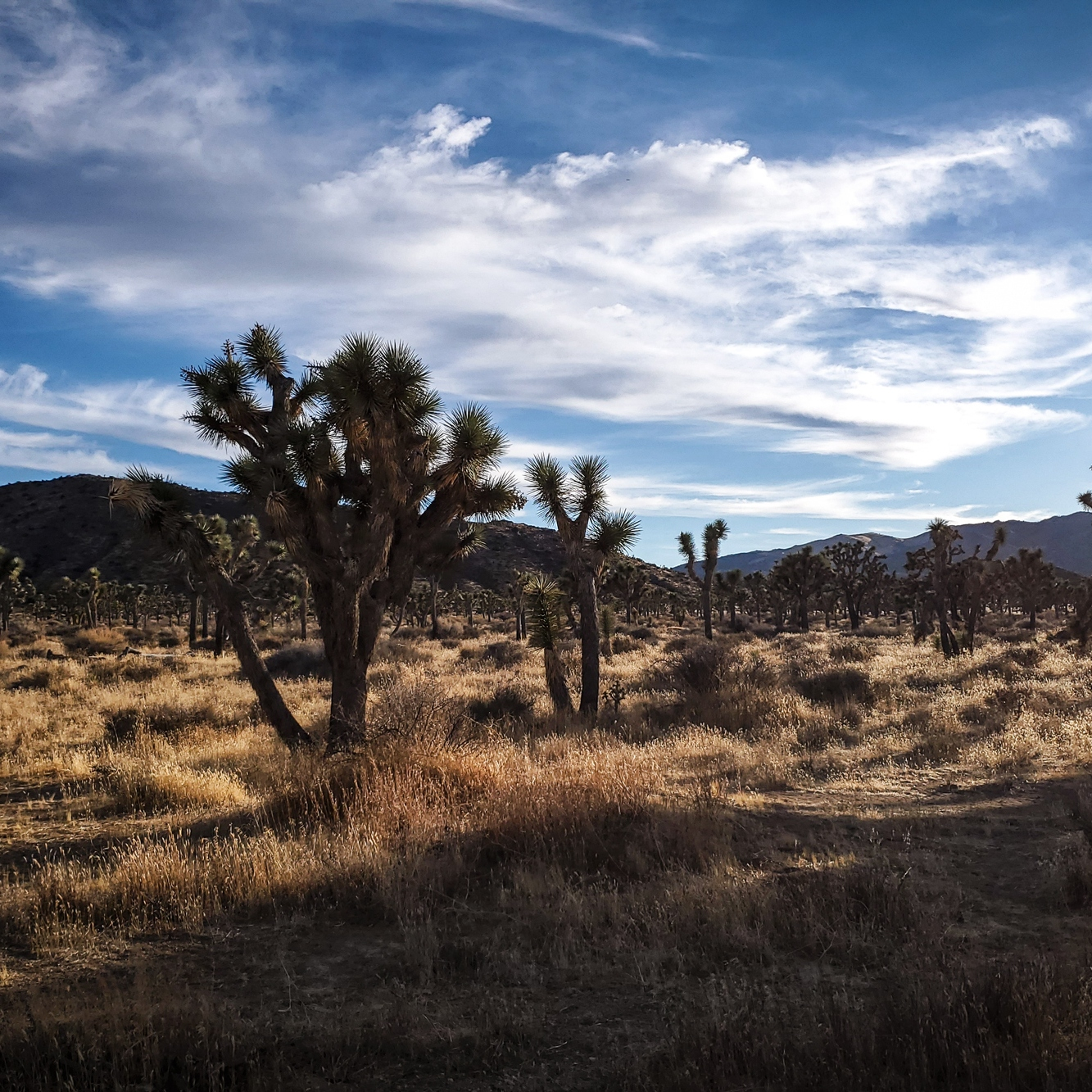 the sunlight glowing over the dry grasses and joshua trees