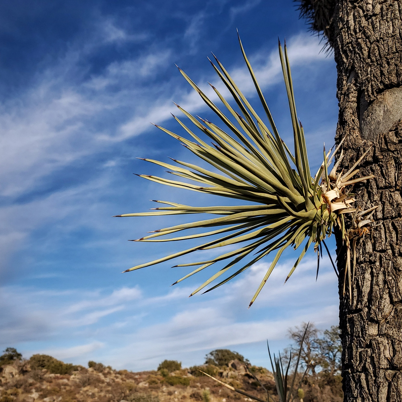 a Joshua Tree growing a new branch out of the middle of its trunk