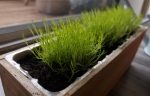 Three patches of Scotch Moss recently moved into a small planter