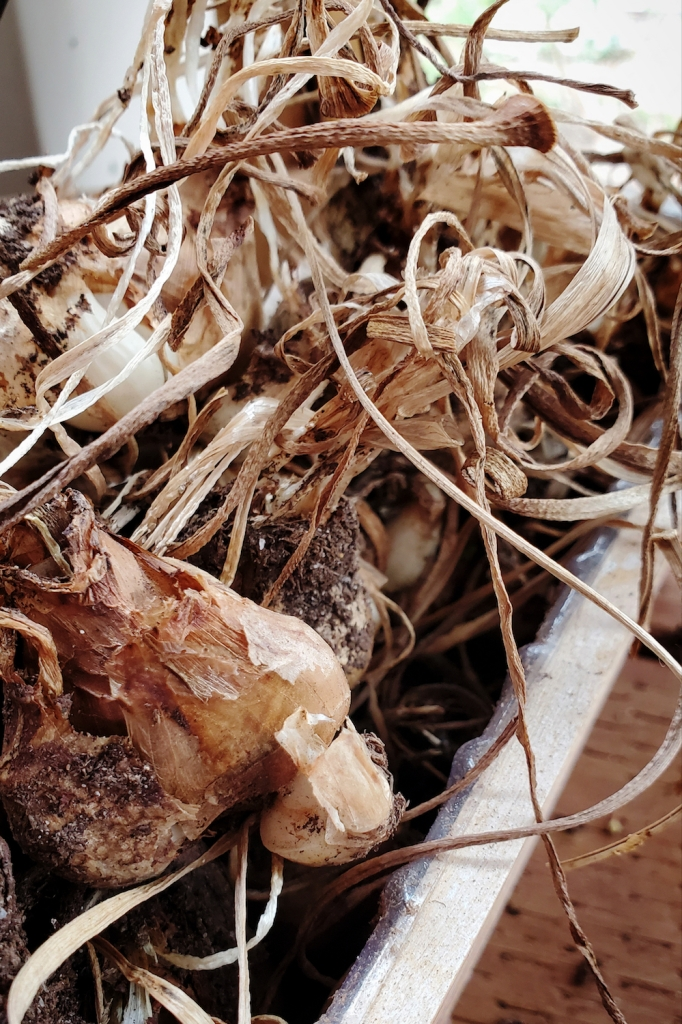 A few dozen daffodil bulbs recently freed from hard-packed, dry dirt