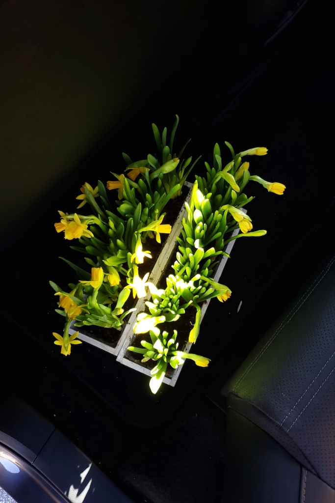 Two packs of daffodils from Trader Joe's in the back of my car