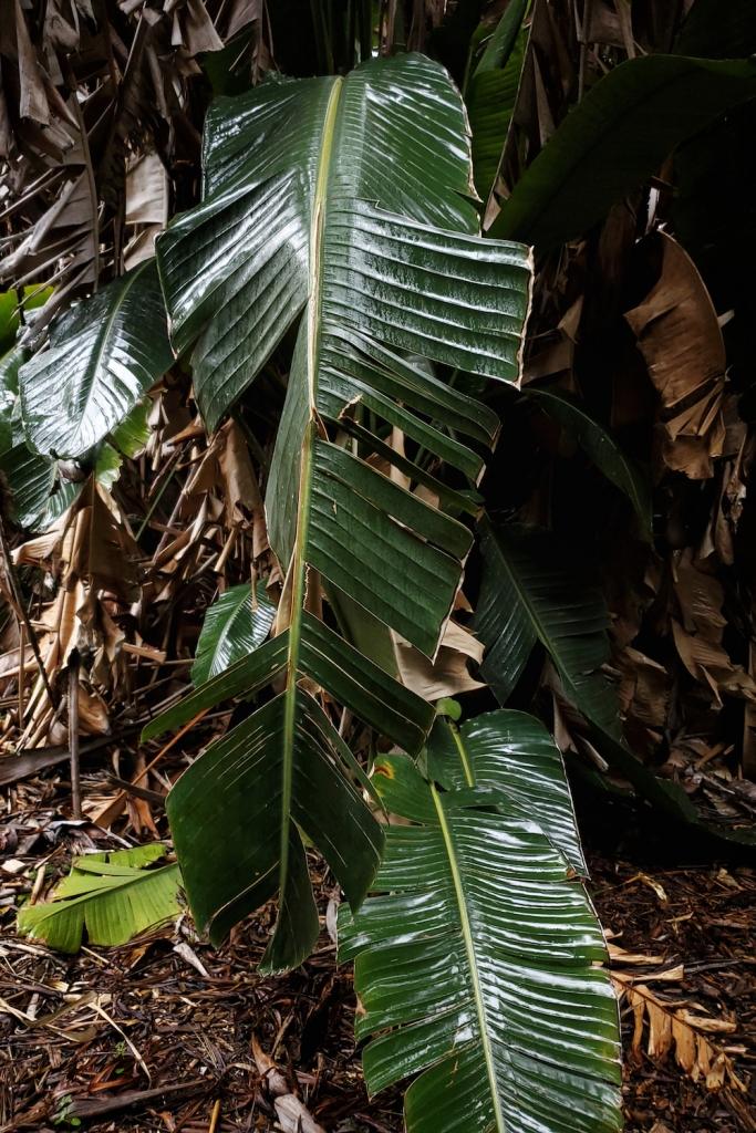 a massive, 4-foot leaf shimmering in fresh rain