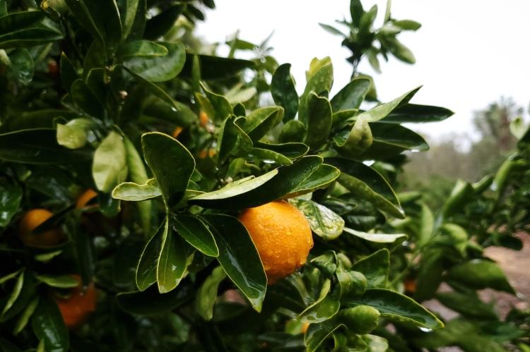 A small mandarin covered in fresh rain