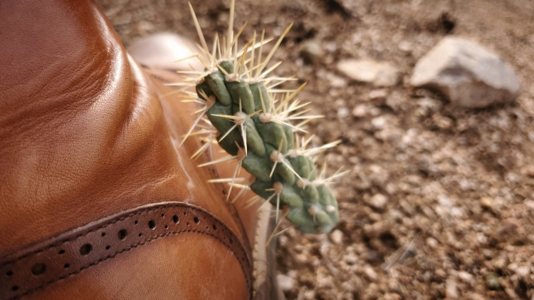 A California Cholla stuck through my leather boot