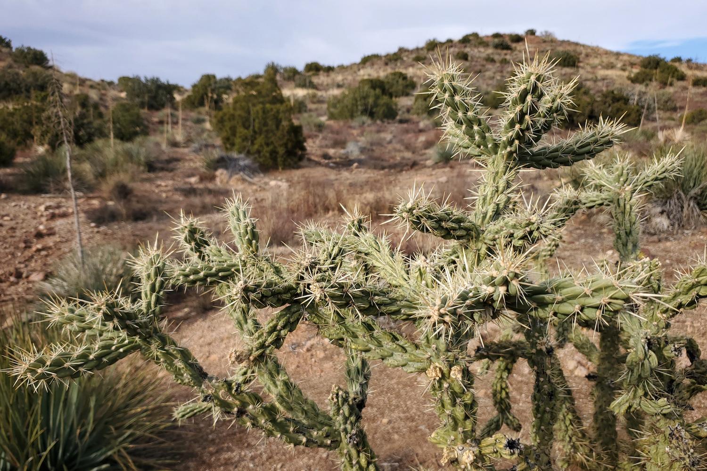 A California Cholla at Vasquez Rocks Park