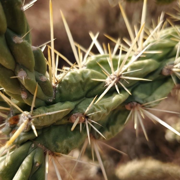 A closeup of the California Cholla's poky bits