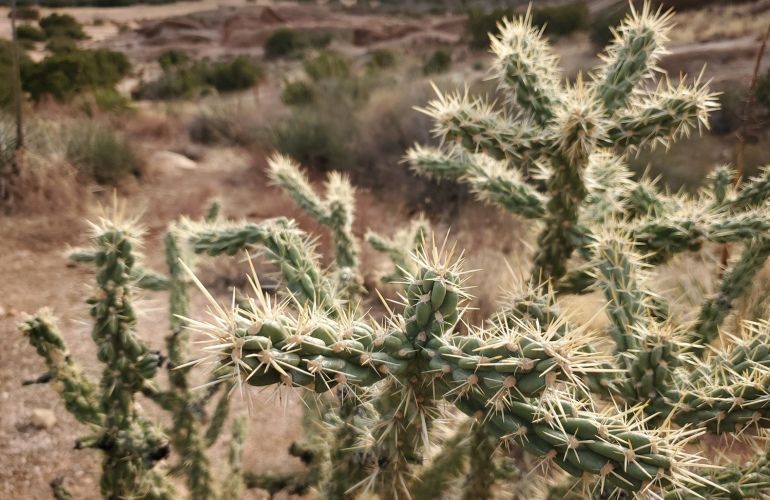 California Cholla from a safe distance