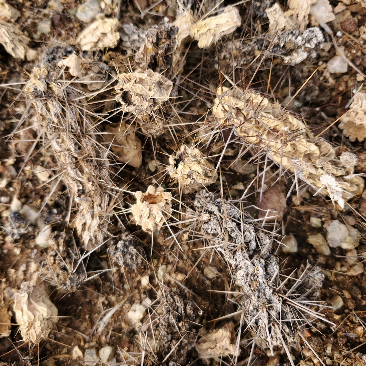 Dried, fallen remnants of a Cholla cactus