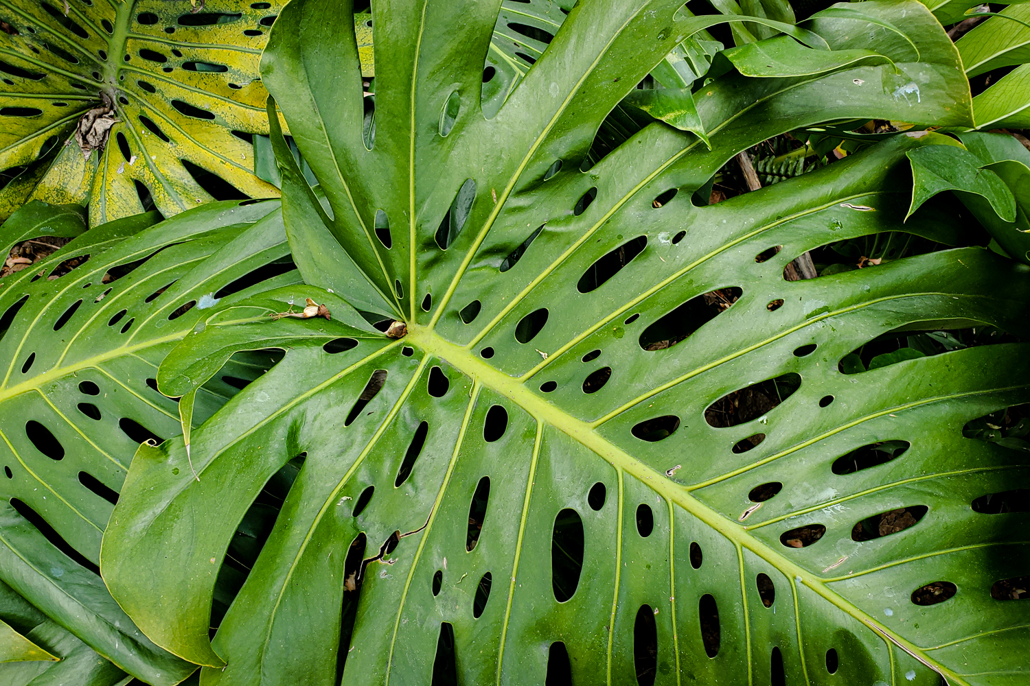 A leaf over 2 feet long, with great detail in the webbing
