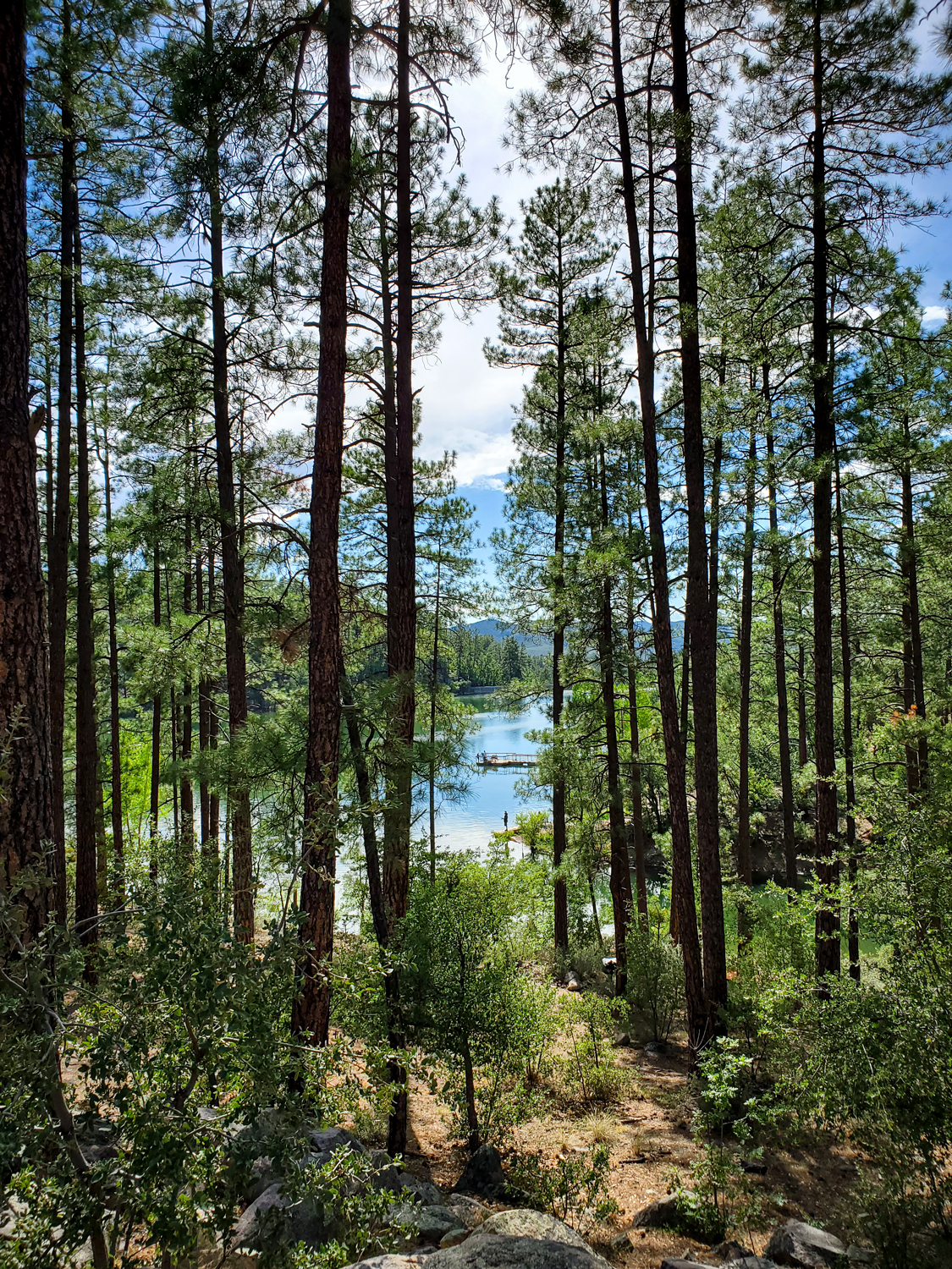 A lovely pine forest in Arizona, overlooking a lake