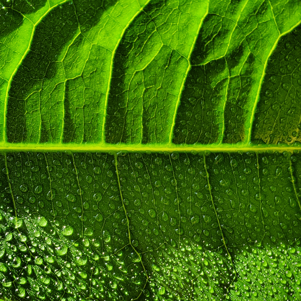 Closeup of a money tree leaf after a light mistingCloseup of a money tree leaf after a light misting