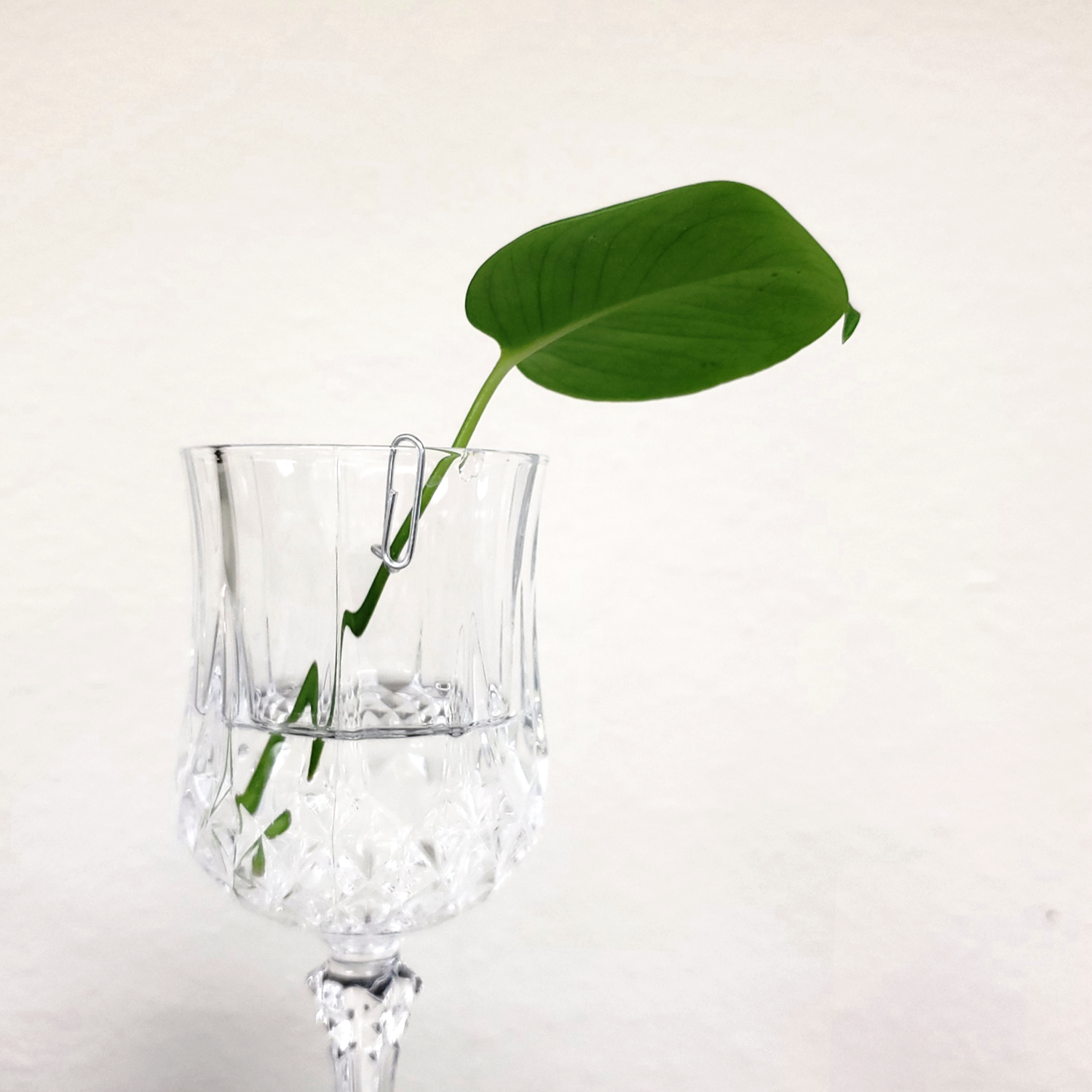 A philo leaf propagating in a cup