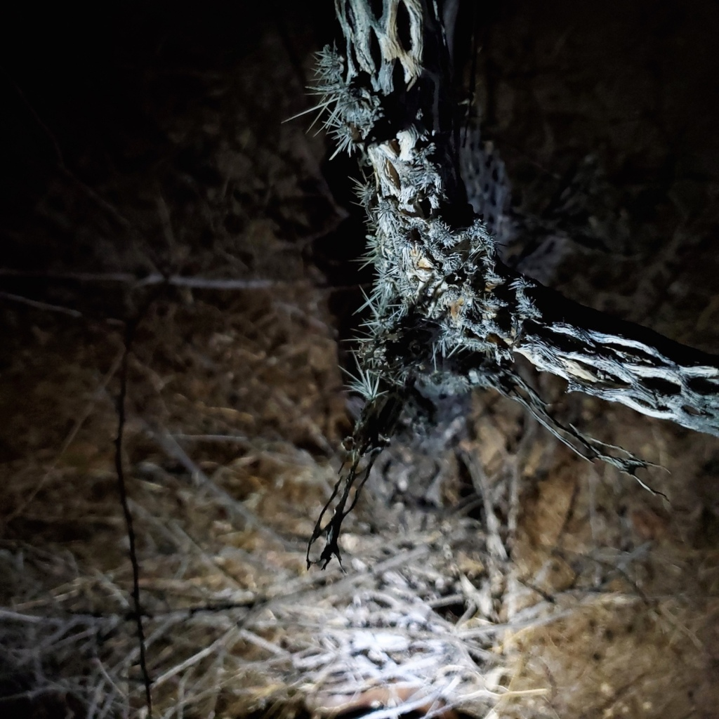 A Cholla skeleton with some glochids still attached