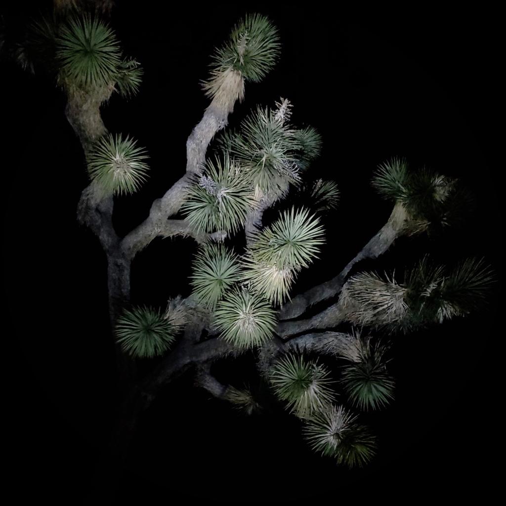 A Joshua Tree looming in the dark