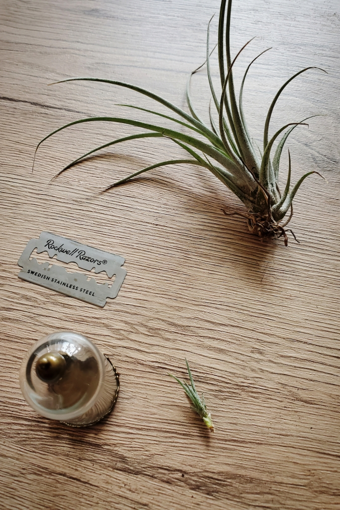 A tillandsia on a wooden board, along with its pup and a razor blade