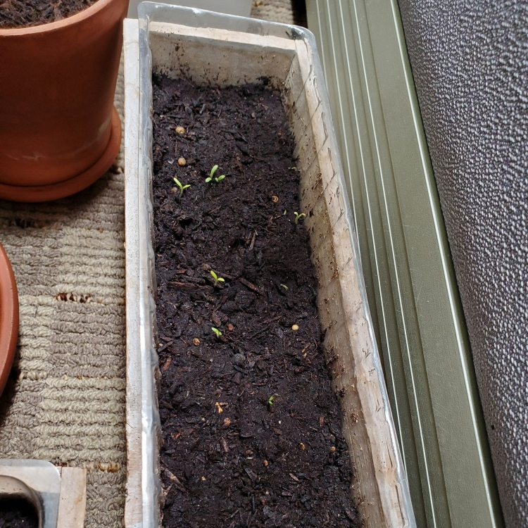 Some small Billy Ball seedlings push out of potting soil in an indoor planter