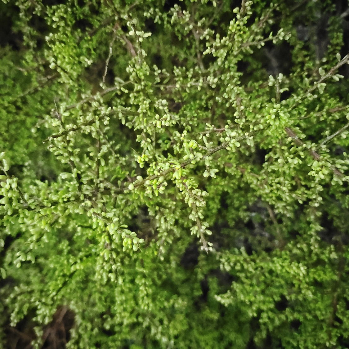 Sparse leaves on a California boxthorn