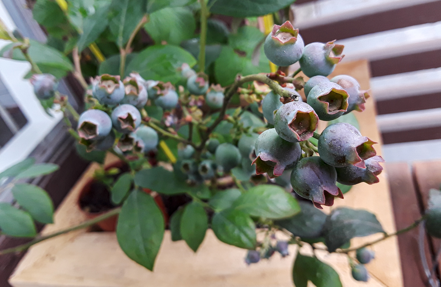 The largest production of blueberries that the plant ever had