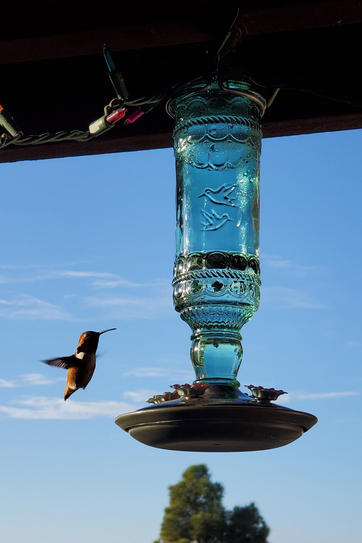 The hummingbird that's claimed my balcony