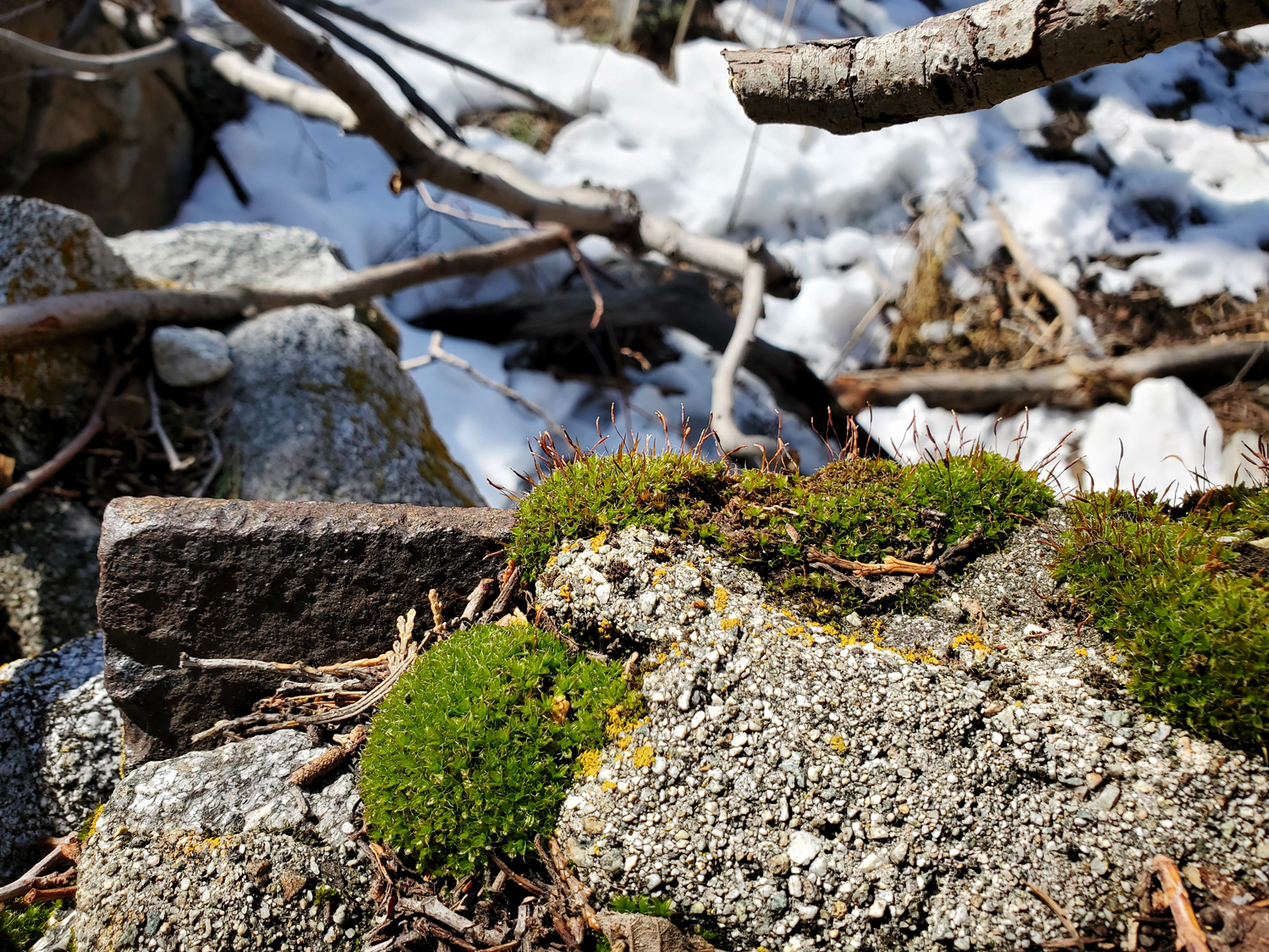 A short patch of Bluish Spike-moss growing on a rock