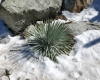 A sturdy Chaparral Yucca partially buried in snow
