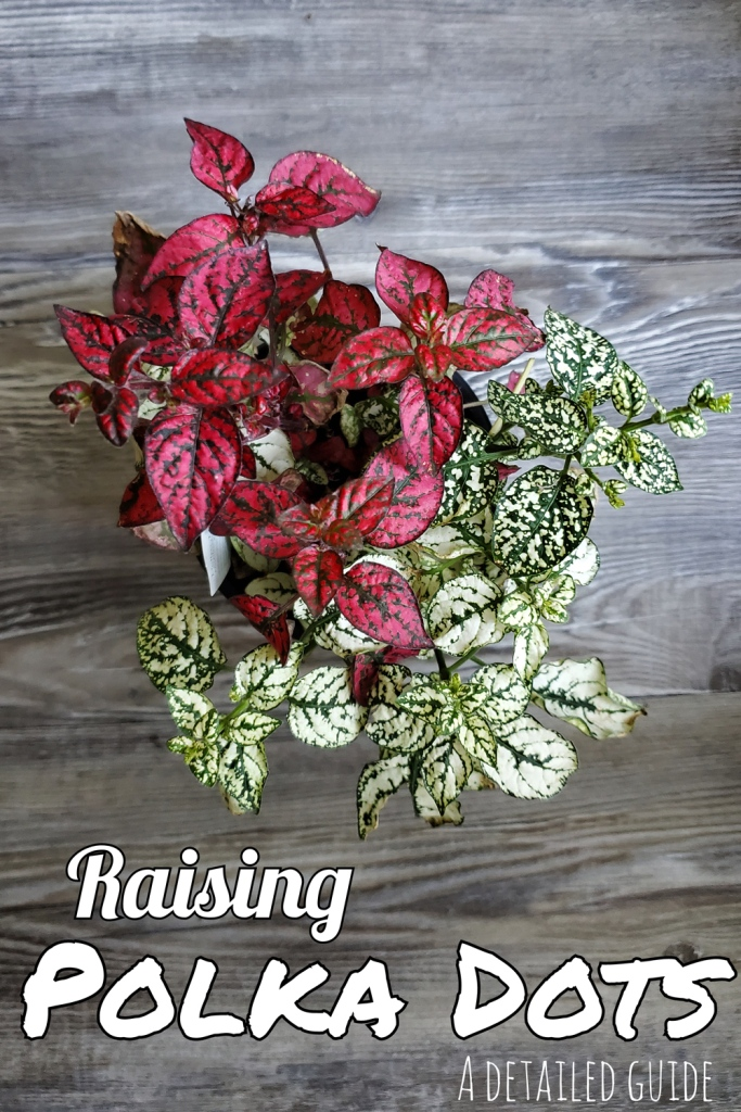 A sharable pinterest image for the blog about polka dot plants