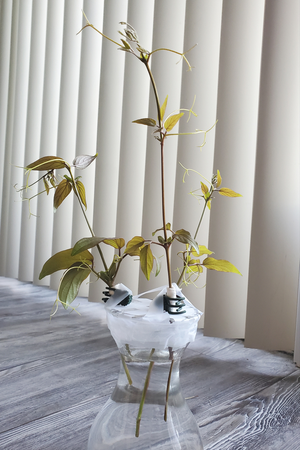 Three grape vine cuttings sit suspended in water
