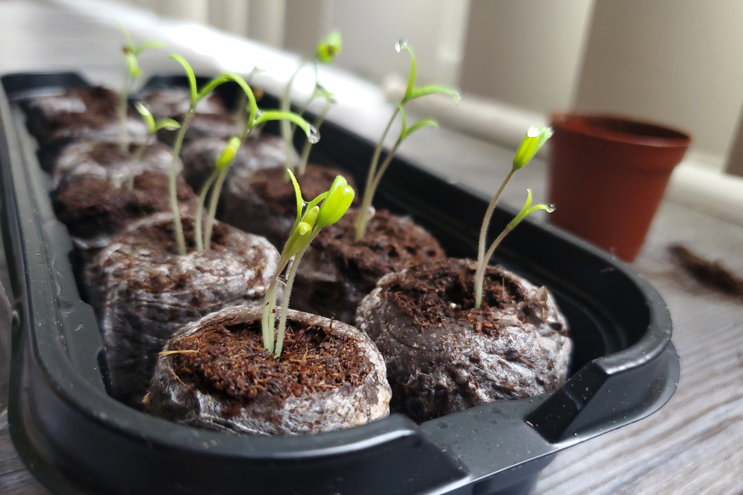 Tomato seedlings springing up in pairs or triples out of small peat moss disks