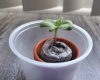A single sunflower growing out of a small peat moss packet in a tiny terracotta pot