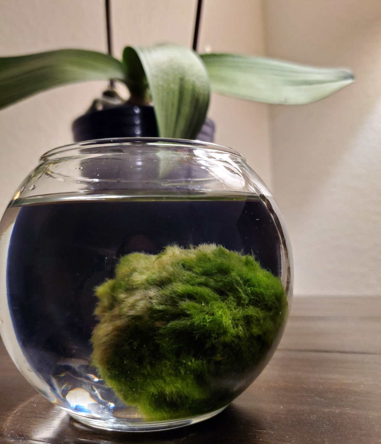 A marimo moss ball in a glass jar, fully of happy and filtered water