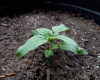 A sunflower seedling alone in a large pot outdoors