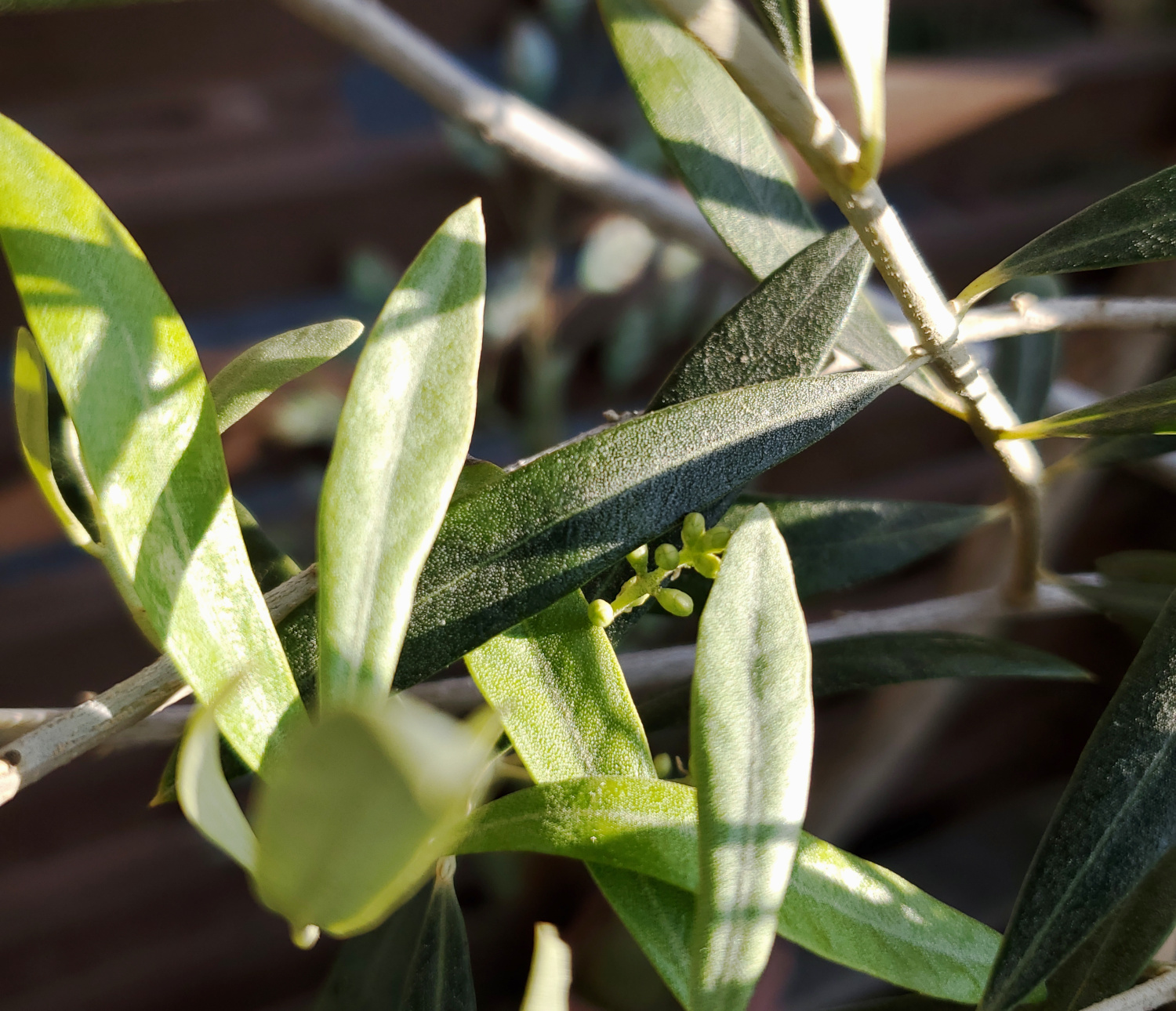 An olive putting out some flower buds at the start of spring