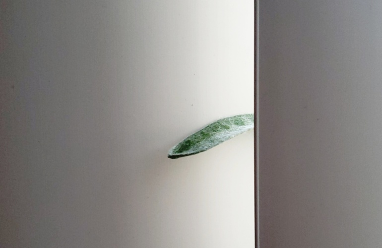 A Billy Button with a curious leaf sticking through some window blinds