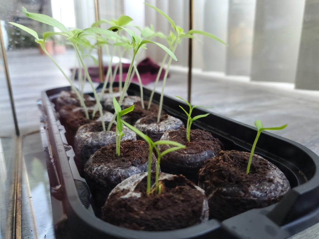 The pepper grow at a slight delay from the tomatoes, only half the height in the same seed starting batch