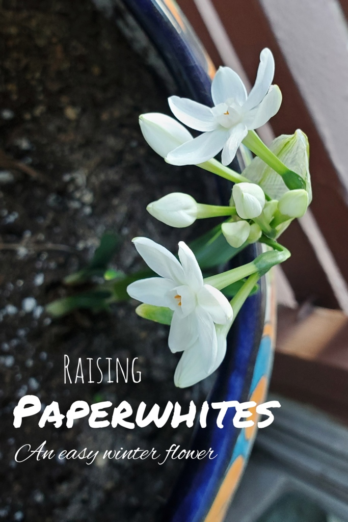 Check out the guide to find out the easy way to raise paperwhites!