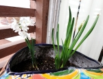 A pair of paperwhites growing strong into spring!
