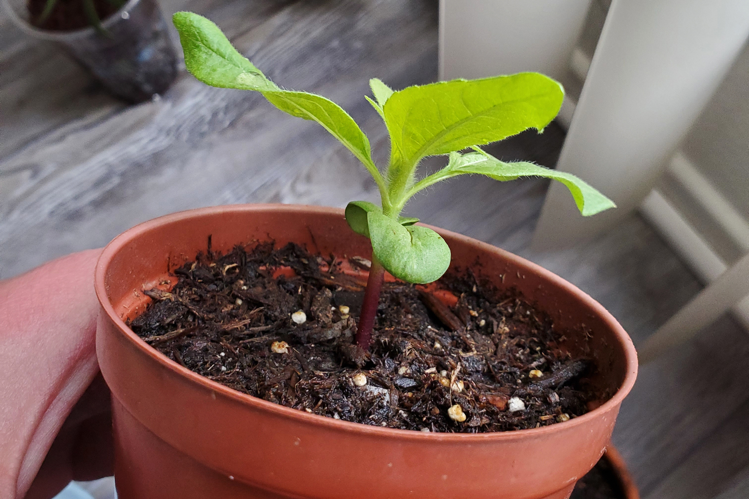 A sunflower seedling that is developing its third pair of true leaves