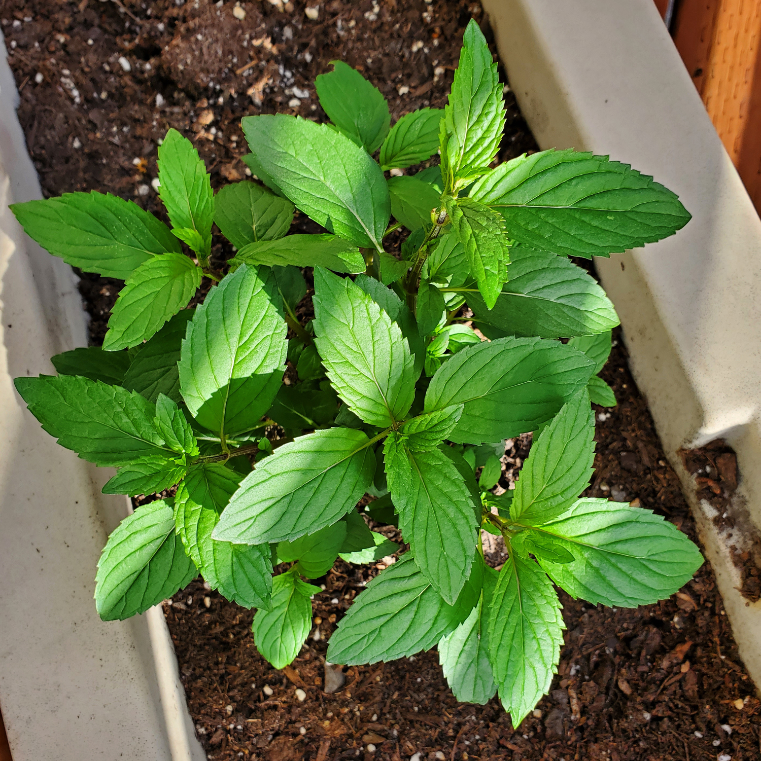 Spearmint looking healthy and ready to grow in spring