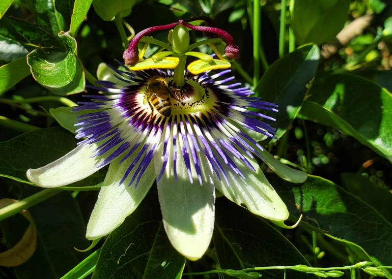 A bee goes to work on a passionfruit flower
