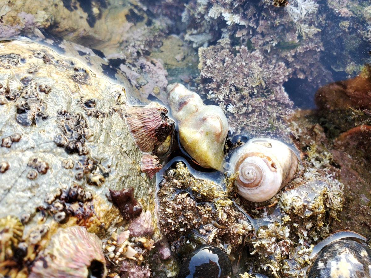 A handful of snails and barnacles down at Pelican Cove