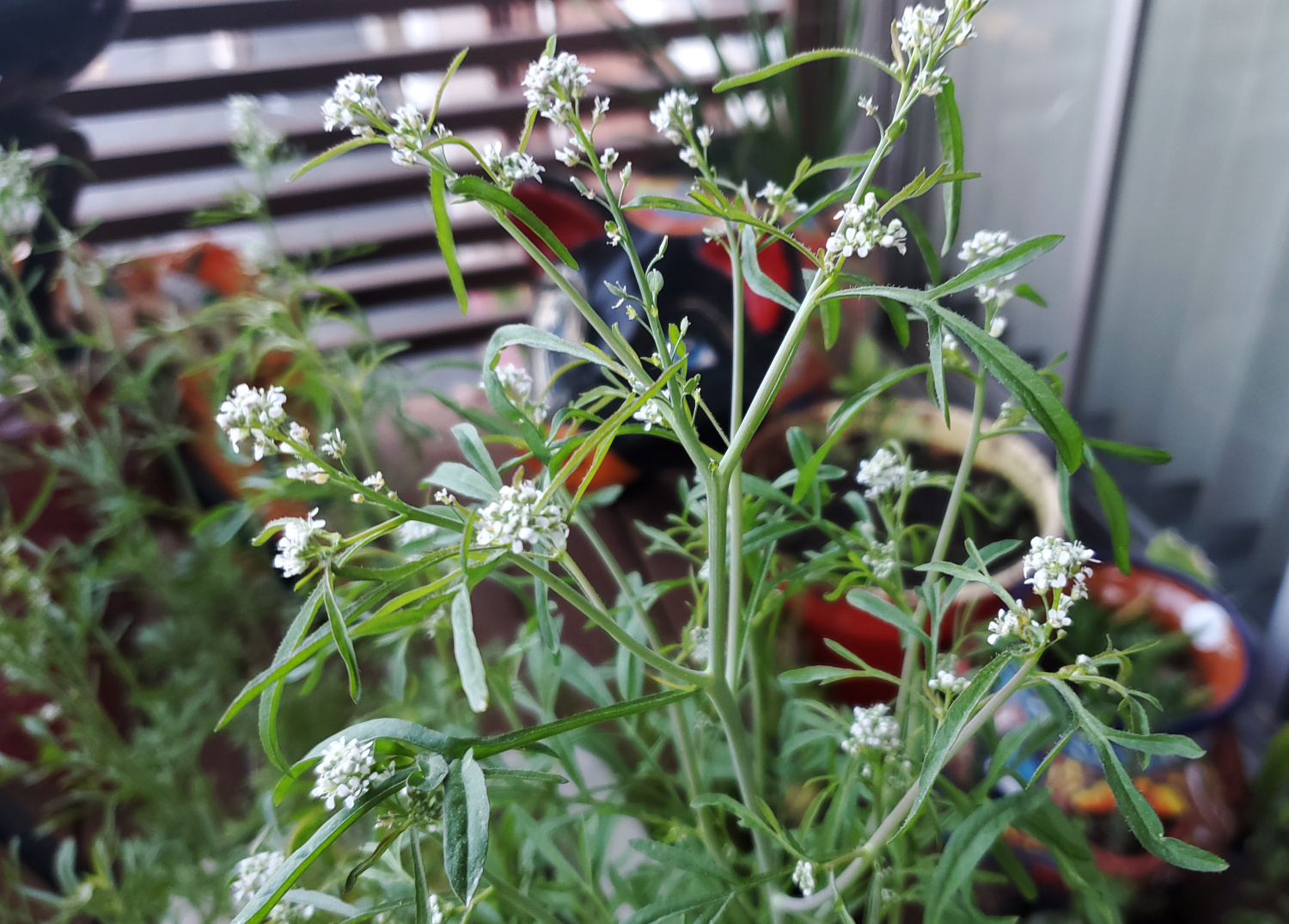 The cress is flowering ferociously in small bursts